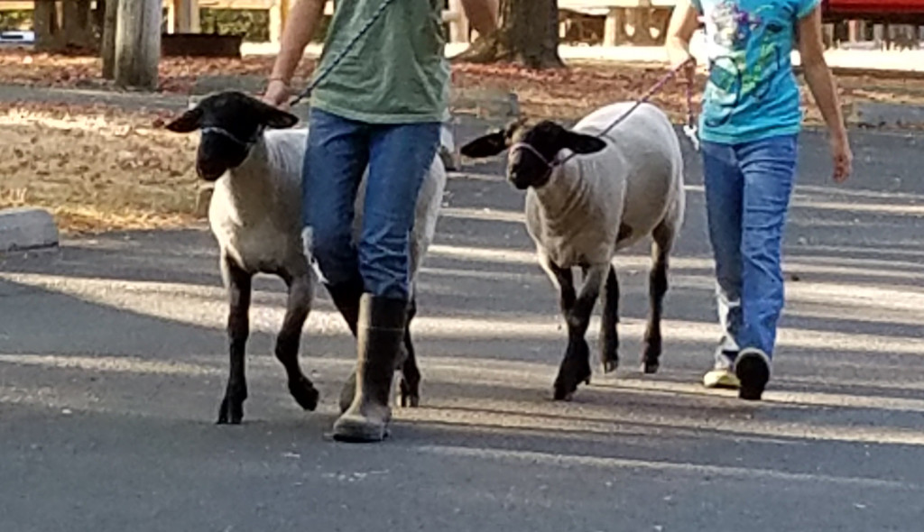 Sheep on Leash