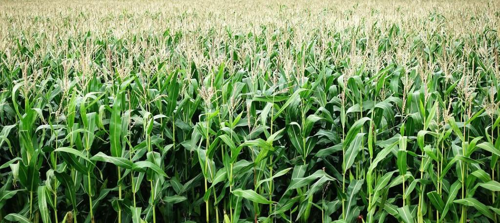 corn-2655525__480